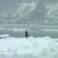 流氷とオオタカ