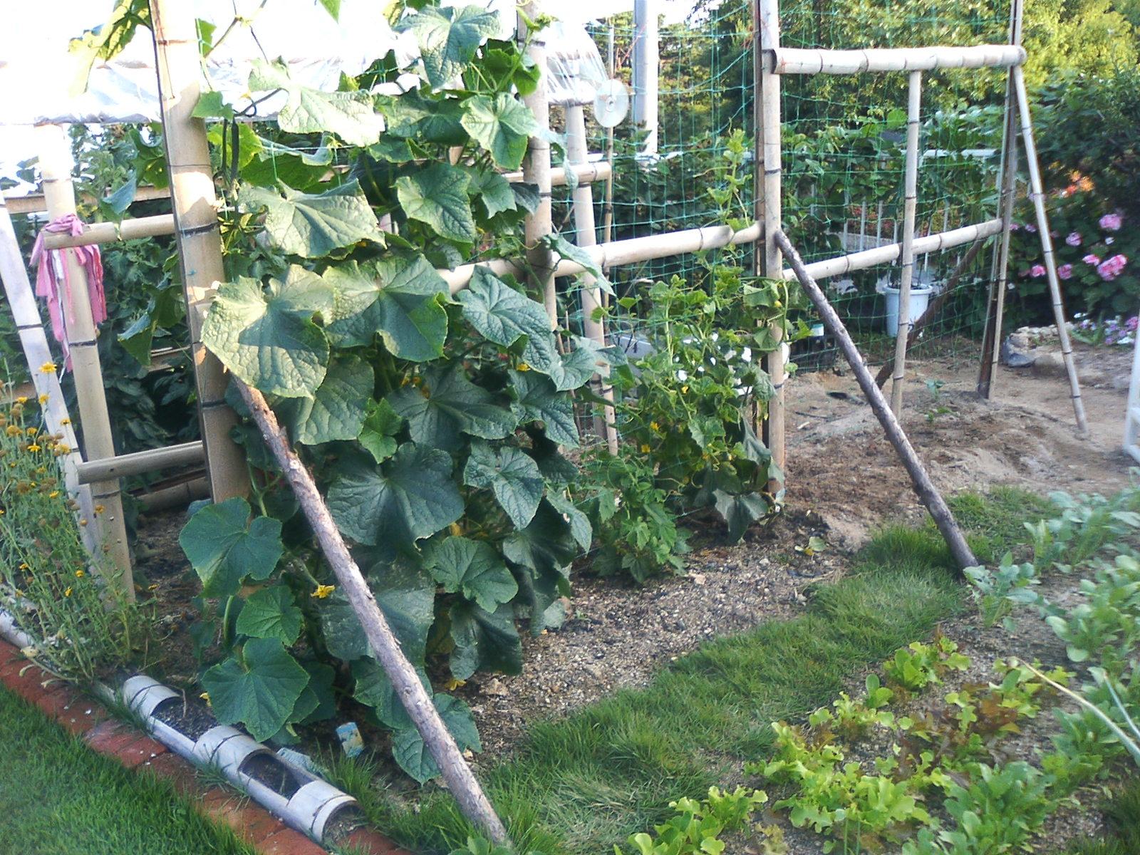 家庭 菜園 きゅうり