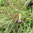 蝶とアザミ